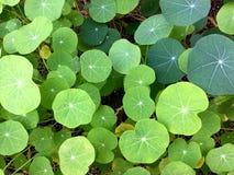 Закройте вверх красивых листьев цветка настурции стоковое фото