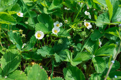 Закройте вверх красивых цветков клубники Стоковое фото RF