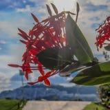 Закройте вверх красного гераниума джунглей цветка на дереве с зелеными листьями и предпосылкой солнечного луча стоковые изображения rf