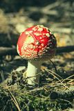 Закройте вверх красного мухомора Muscaria мухомора мухы в лесе в падении Предпосылка сцены осени красочная в солнечном свете Стоковое фото RF