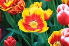 Закройте вверх красного тюльпана с желтыми краями стоковое изображение rf