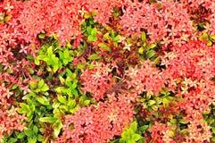 Закройте вверх красного Ixora в взгляд сверху, жасмине западного индейца Стоковое Фото