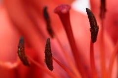 Закройте вверх красной лилии Стоковое Фото