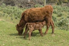 Закройте вверх красной коровы Dexter, рассмотренный редкой породой, пася на траве стоковое изображение