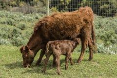 Закройте вверх красной коровы Dexter, рассмотренный редкой породой стоковое изображение