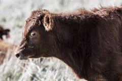 Закройте вверх красной коровы Dexter, рассмотренный редкой породой, положением смотря к левой стороне стоковое фото