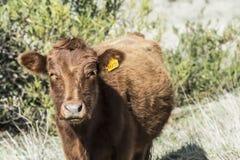 Закройте вверх красной коровы Dexter, рассмотренный редкой породой, положением стоковые фото