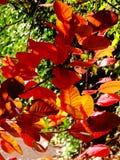 Закройте вверх красной листвы в automn стоковые фото