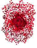 Закройте вверх красной розы взрывая Стоковая Фотография