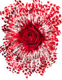 Закройте вверх красной розы взрывая Стоковое фото RF