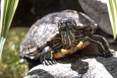 Закройте вверх красно-ушастой черепахи слайдера стоковая фотография