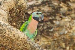 Закройте вверх красно--breasted длиннохвостого попугая Стоковая Фотография