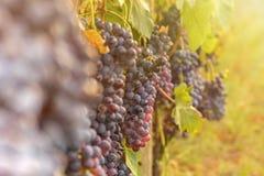 Закройте вверх красных виноградин в винограднике во время осени Стоковое Изображение RF