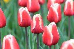 Закройте вверх красных и белых тюльпанов стоковые фотографии rf