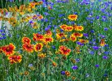 Закройте вверх красных и желтых эхинацеи и bluettes цветка Стоковое фото RF