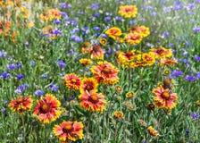 Закройте вверх красных и желтых эхинацеи и bluettes цветка Стоковые Изображения