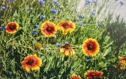 Закройте вверх красных и желтых эхинацеи и bluettes цветка Стоковое Изображение
