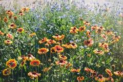 Закройте вверх красных и желтых эхинацеи и bluettes цветка Стоковое Изображение RF