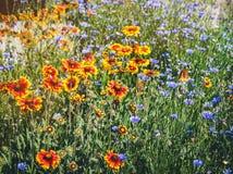 Закройте вверх красных и желтых эхинацеи и bluettes цветка Стоковые Фотографии RF