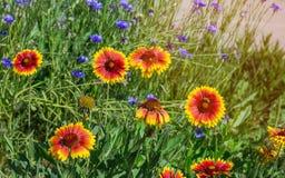 Закройте вверх красных и желтых эхинацеи и bluettes цветка Стоковые Фото