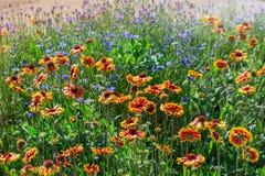 Закройте вверх красных и желтых эхинацеи и bluettes цветка Стоковое Фото