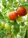 Закройте вверх красных и зеленых плодоовощей томата на заводе Стоковые Изображения