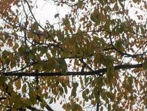 Закройте вверх красных оранжевых листьев осени в дереве ветвей выше Стоковое Фото