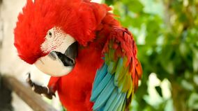 Закройте вверх красных попугая ары шарлаха Амазонки или Ara Макао, в портрете тропической живой природы леса джунглей красочном п акции видеоматериалы