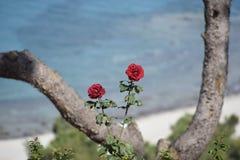 Закройте вверх 2 красных роз с Эгейским морем на заднем плане Стоковое Изображение