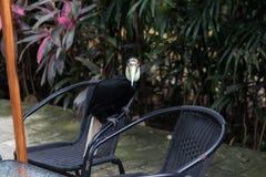 Закройте вверх красочной кил-представленной счет toucan тропической птицы в парке зоопарка Бали, Индонезии Стоковые Фотографии RF