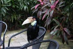 Закройте вверх красочной кил-представленной счет toucan тропической птицы в парке зоопарка Бали, Индонезии Стоковые Изображения RF