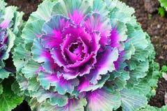 Закройте вверх красочной орнаментальной капусты Стоковая Фотография