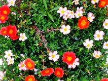 Закройте вверх красочной предпосылки природы цветков Стоковые Изображения RF