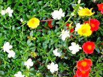 Закройте вверх красочной предпосылки природы цветков Стоковая Фотография RF