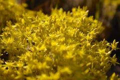 Закройте вверх крошечных цветков очитка goldmoss стоковая фотография rf