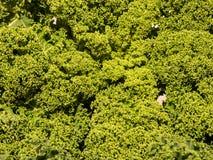 Закройте вверх курчавых зеленых листьев листовой капусты Стоковая Фотография RF