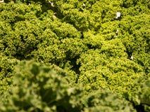 Закройте вверх курчавых зеленых листьев листовой капусты Стоковые Изображения