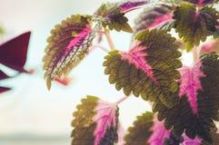 Закройте вверх листьев красного цвета и зеленого цвета завода coleus Стоковое фото RF