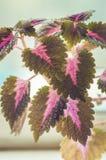 Закройте вверх листьев красного цвета и зеленого цвета завода coleus Стоковое Фото