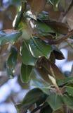 Закройте вверх листьев магнолии стоковое изображение rf