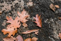 Закройте вверх лист дуба клена мертвых лежа на утесе с мхом Стоковое Фото