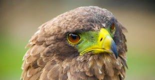 Закройте вверх макрос коричневого орла стоковые фотографии rf