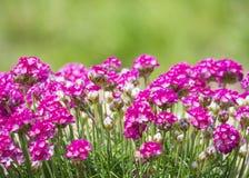 Закройте вверх макрос пука розового зацветая maritima Armeria, обыкновенно известного как хозяйственность, хозяйственность моря и стоковое фото