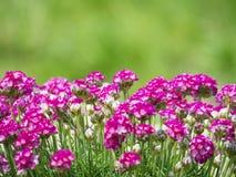Закройте вверх макрос пука розового зацветая maritima Armeria, обыкновенно известного как хозяйственность, хозяйственность моря и стоковое изображение