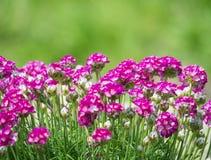 Закройте вверх макрос пука розового зацветая maritima Armeria, обыкновенно известного как хозяйственность, хозяйственность моря и стоковые фото