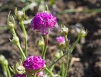 Закройте вверх макрос розового зацветая maritima Armeria, обыкновенно известный как хозяйственность, хозяйственность моря или пин стоковые фото