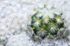 Закройте вверх малого кактуса в баках Стоковые Изображения RF