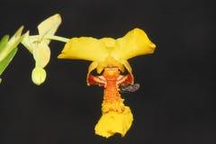 Закройте вверх малой желтой орхидеи стоковые фото