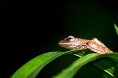 Закройте вверх малой коричневой лягушки Стоковое Изображение RF