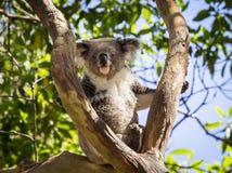 Закройте вверх медведя коалы в дереве Стоковое Изображение